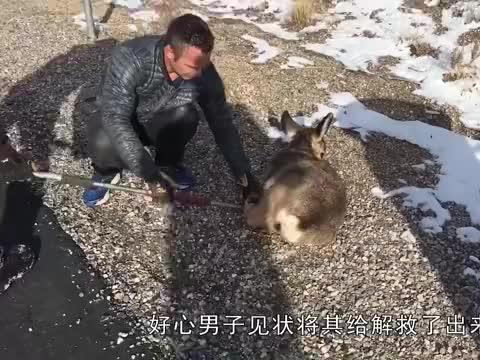 野狼被捕兽夹所困,好心男子上前解救,小家伙的表现太暖心