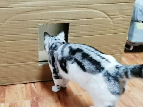 猫咪钻缝测试升级,比胡须窄的地方,身体真的过不去吗?