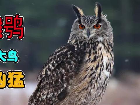 雕鸮这个强大残忍的空中猎手,只要被它盯上!没什么动物可以逃脱