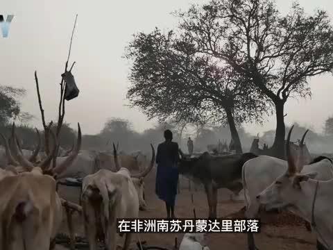 纪录片:非洲最喜欢牛的部落,洗头用牛尿,抹身子用牛粪