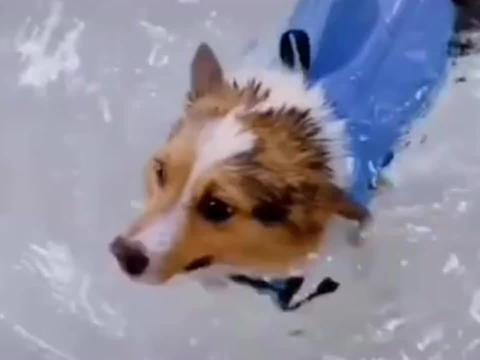 柯基小短腿这才叫游泳,后面的那位顶多是在水里行走!