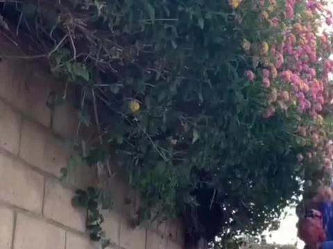 外国的大叔修理花枝,切掉的鲜花看着浪费,不能让它自由生长吗?