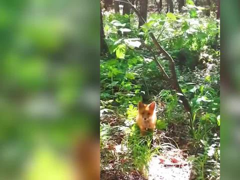 女子挖野菜碰到野生赤狐,不断夸奖反倒吓跑对方,网友评论亮了