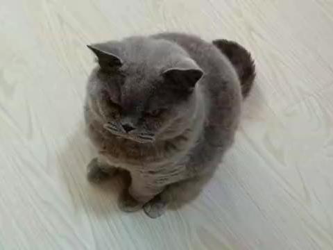 主人挨个给猫咪们喂营养膏,不吃就开始动手,帅公猫:喵生好难