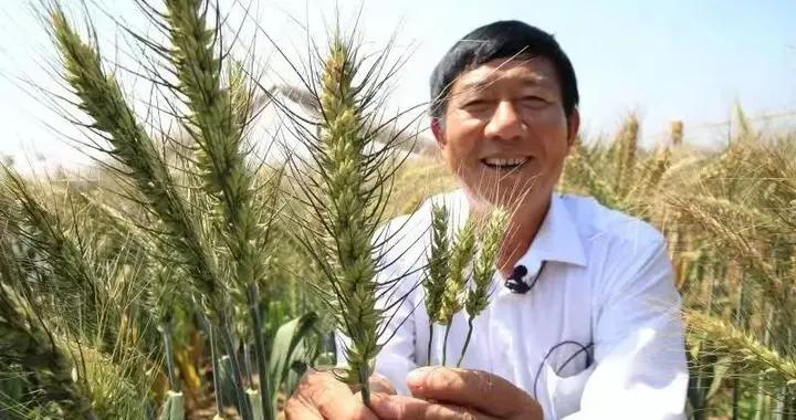 山东滨州国家农业科技园区高产小麦丰收在即