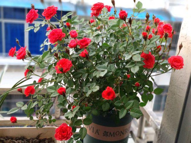 """阳台还有位置的,养棵""""草裙舞女""""吧,漂亮又喜庆,四季有花开"""