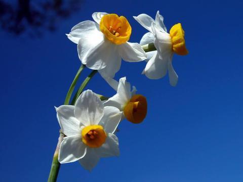 喜欢菊花,不如养盆菊中珍品水仙,皎洁似圆月,香气飘满屋