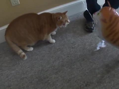 """主人给橘猫买个""""充气猫"""",本以为会高兴,不料下一幕主人懵了"""