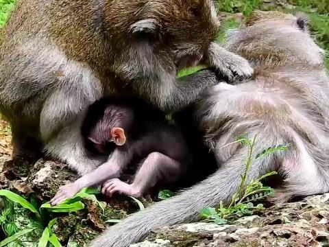 小猴一不小心从岩石上摔了下来,坚强的小猴没有哭泣!
