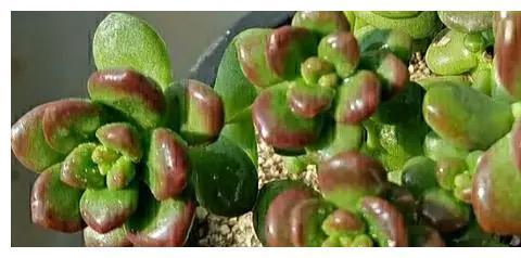 自带香气的松绿多肉,叶片肥美又好养,颜值超高超可爱