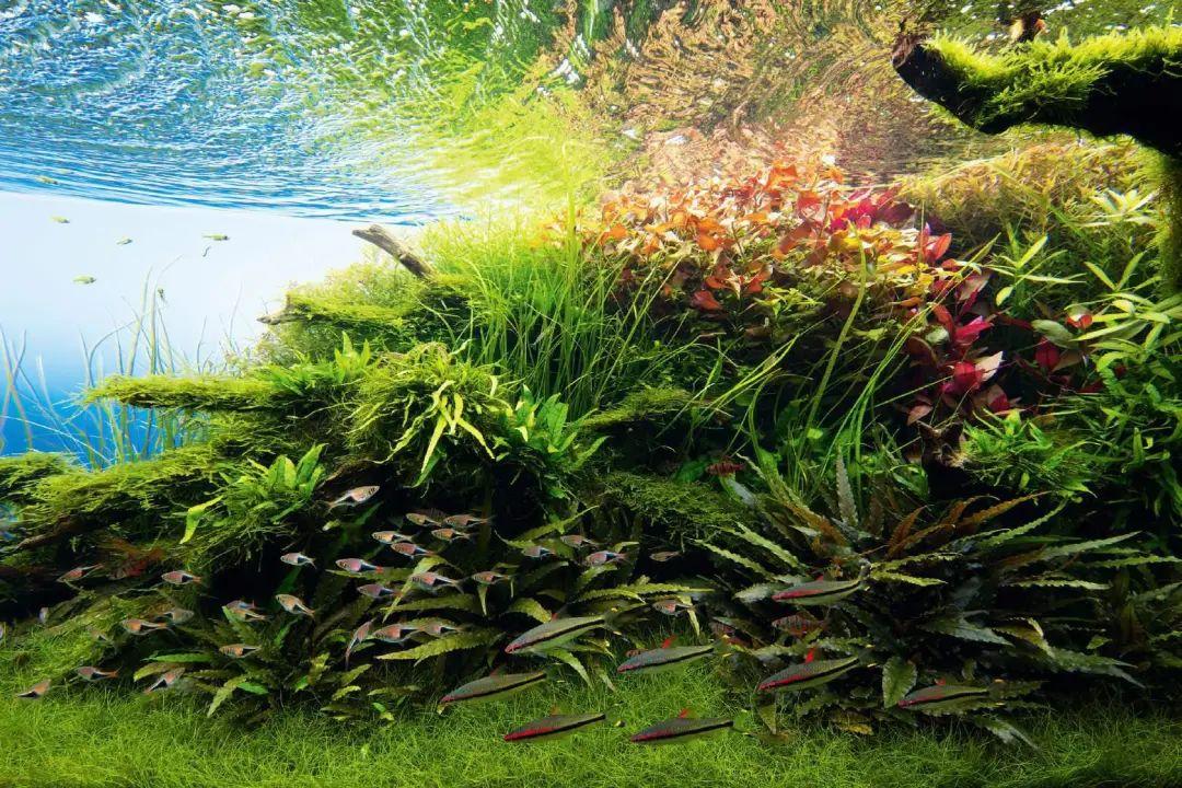 本色水景 |三角构图草缸造景开缸过程详解,生态鱼缸造景培训开店