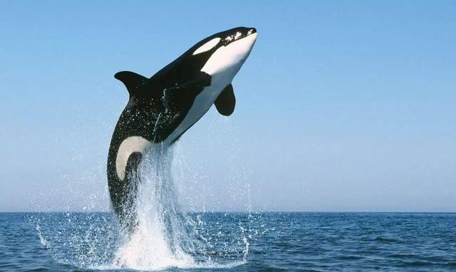 """鲸鱼是如何拉粑粑的?鲸鱼的粪便""""价值连城"""",这究竟是为何?"""