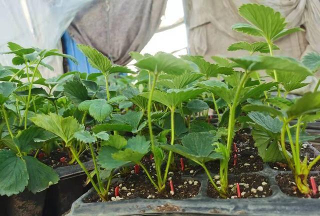 草莓苗育苗中期雨后如何预防炭疽病?