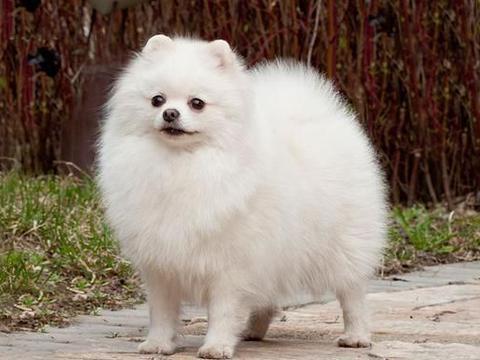 """养狗就养这6种""""小型犬"""",不仅可爱,还非常听话"""