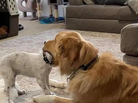 小狗不听话,大金毛上前一口吞下狗头…哈哈哈!
