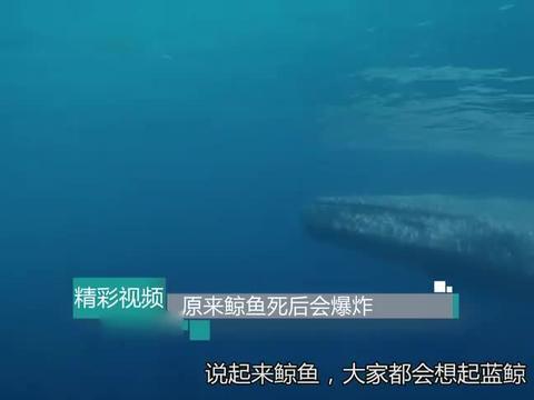 为什么鲸鱼死后会爆炸?一旦排泄100米内无人幸免,再也不敢靠