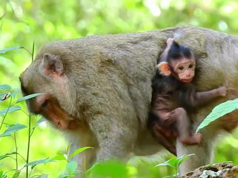 小肥猴臂力真是惊人,拽住猴妈的后背,太萌了!