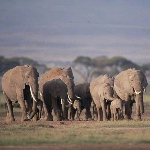 """野生大象迁徙为什么能找到""""北""""?"""