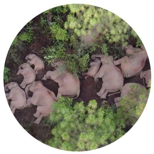 云南大象走红国际,全世界都在关心它们去哪里呀?