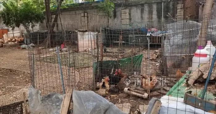 柳州这个小区有人养鸡散异味,半夜鸡叫又扰民