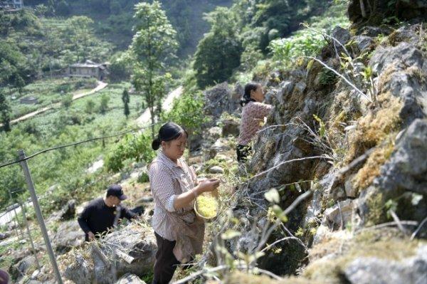 安龙县笃山镇坡老村铁皮石斛花进入采花期