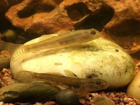 新手饲养虾虎鱼是一个很好的选择,我来介绍一下如何来饲养
