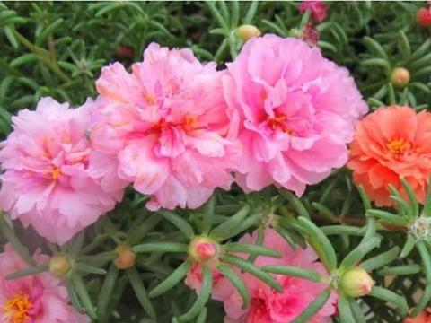 4种花是花中劳模,花开不断香气四溢,花朵烂漫迷人