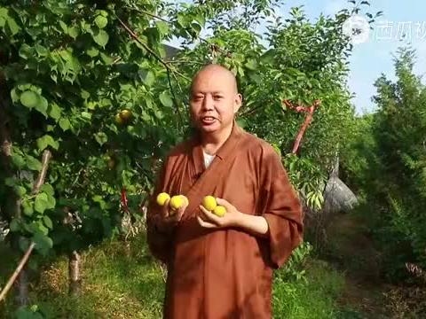 初夏时节,唐山兴国寺的杏子熟了。