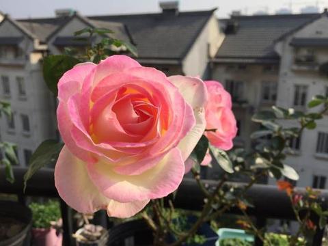 """世界名花""""摩纳哥公主""""—花朵又美又仙,阳台养一棵,四季有花赏"""