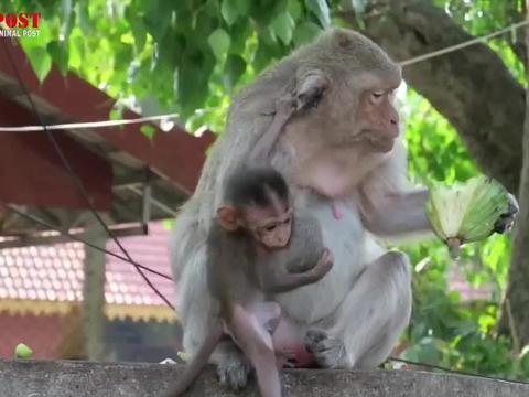 猴儿想要品尝莲子,猴妈用手推猴儿,幸好猴儿拽稳了猴妈没掉下去