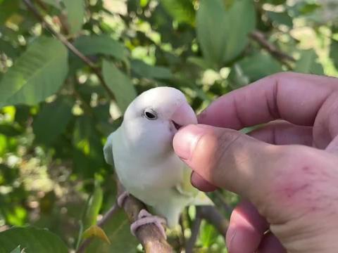 小鹦鹉不讲武德,跟主人打架,使出阴招