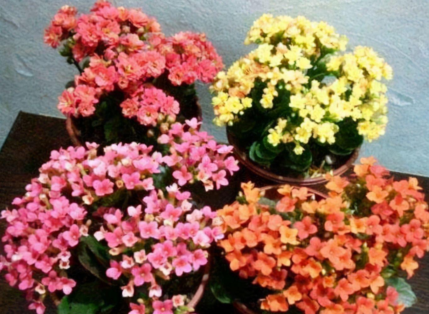 夏季要想养好长寿花,温度问题只是其中之一,还有2处要注意