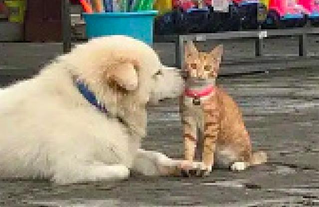 猫咪亲了一下狗狗后,没想到它竟主动又亲了回去,幸福来得太突然