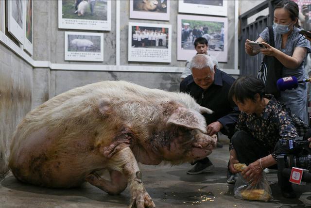 猪坚强去世引发全网哀悼,如何正确评价猪坚强一生,网友态度迥异