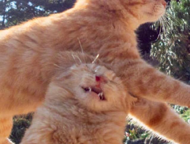 两只猫咪玩耍在空中碰撞到一起,感觉眼泪都飙出来了,看着好疼!