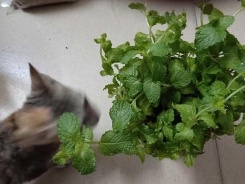 夏季养花不如种草篇:栽几株薄荷,能吃能观花赏叶,打理省劲