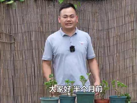 邻居给的带病长寿花 经过细心的养护变成健康的植株