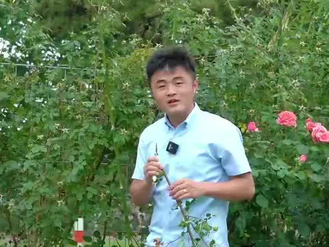 夏季怎么养护月季花呢?学会这几招,月季度夏不犯难。