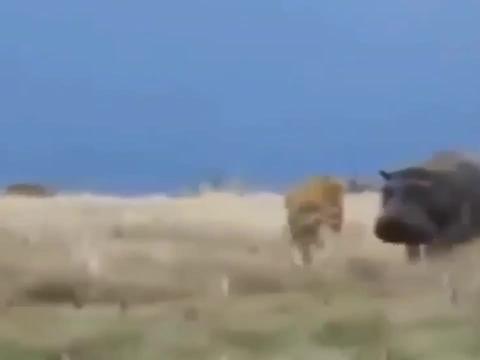 河马战斗力Max, 狮子攻击如同瘙痒,游走狮群探囊取物!