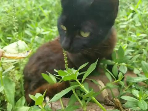 这只小黑猫有点怕人,性子很野,拿点小鱼干喂喂它