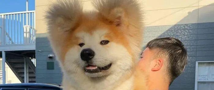 外网一只秋田犬火了,网友看了不禁笑翻:它的头是爱心形的!