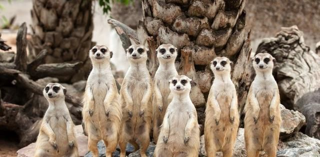 """非洲狐獴的""""母系社会"""":只有头领能繁育后代,其他都是保姆!"""