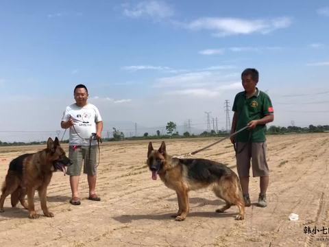 """哥哥就喜欢养德牧犬,这两条都是名犬后代,""""金条""""还是当家种公"""