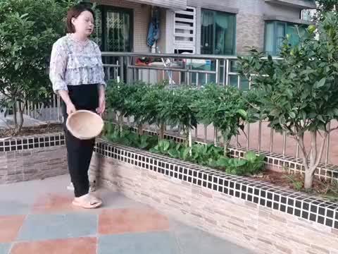阳台种菜:丝瓜长得太好了,把豆角压垮了