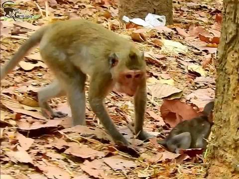 年轻的母猴很担心猴儿被抢走,拽住猴儿的尾巴,导致猴儿摔倒在地