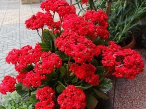 夏天养长寿花,3个要点要谨记,安全度夏秋天长势旺