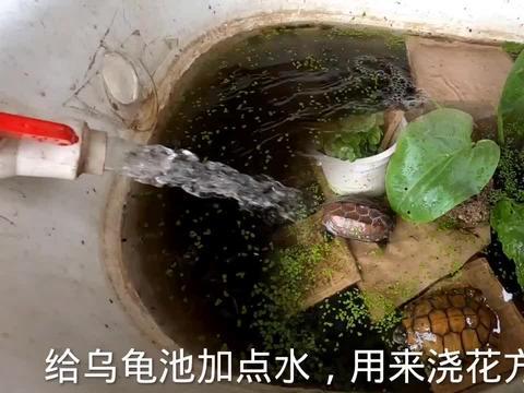 房顶养的三只乌龟换点水,用来浇花特别方便,生活简单惬意