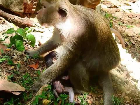 小猴摆脱母猴的控制,跑到树跟地下,猴妈拽住小猴的尾巴,拔出来