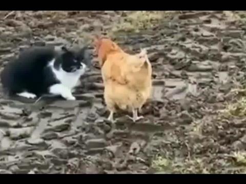 黑猫:今天我们就决一雌雄,看看我到底是猫还是虎,你们一起上!