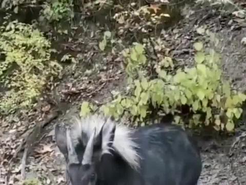 哪位大神能告诉我这是什么神兽,羊角驴脸真奇葩,就是个四不像